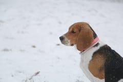 Бигль и снег собаки в парке Стоковая Фотография RF