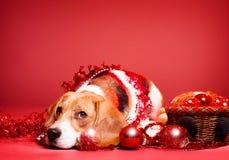 Бигль рождества. Стоковая Фотография RF