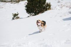 Бигль скача в снег Стоковая Фотография