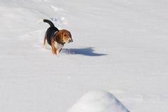 Бигль собаки бежать в снеге зимы Стоковые Фотографии RF