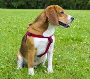 Бигль собаки на зеленой траве бигль крупного плана Собаки бигля, портрет Стоковое Изображение RF