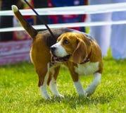 Бигль собаки на зеленой траве бигль крупного плана Собаки бигля, портрет Стоковое Фото