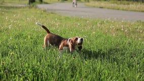 Бигль собаки родословной лаяет и бежит к его подруге в defocus на заходе солнца медленно акции видеоматериалы