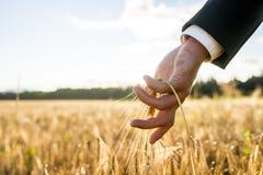 Бизнесмен касаясь уху зрея пшеницы стоковые изображения