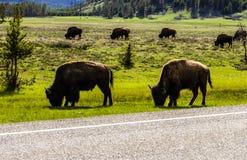 Бизоны есть траву в Йеллоустон стоковое фото rf