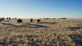 Бизоны ищут траву глубоки под снегом Их толстые пальто могут изолировать их вниз до -20 Градус Фаренгейта стоковое фото rf
