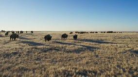 Бизоны ищут траву глубоки под снегом Их толстые пальто могут изолировать их вниз до -20 Градус Фаренгейта стоковые фото