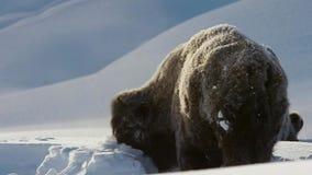 Бизоны ищут траву глубоки под снегом Их толстые пальто могут изолировать их вниз до -20 Градус Фаренгейта стоковое изображение