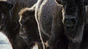 Бизоны ищут траву глубоки под снегом Их толстые пальто могут изолировать их вниз до -20 Градус Фаренгейта стоковые изображения