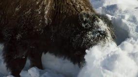 Бизоны ищут траву глубоки под снегом Их толстые пальто могут изолировать их вниз до -20 Градус Фаренгейта стоковая фотография