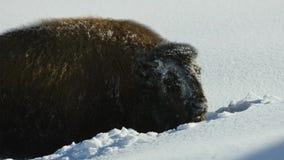 Бизоны ищут траву глубоки под снегом Их толстые пальто могут изолировать их вниз до -20 Градус Фаренгейта стоковая фотография rf