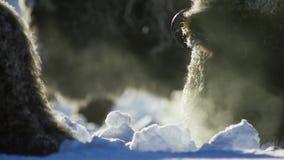 Бизоны ищут траву глубоки под снегом Их толстые пальто могут изолировать их вниз до -20 Градус Фаренгейта стоковые изображения rf