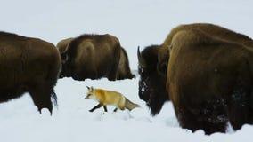 Бизоны ищут траву глубоки под снегом Их толстые пальто могут изолировать их вниз до -20 Градус Фаренгейта стоковое фото