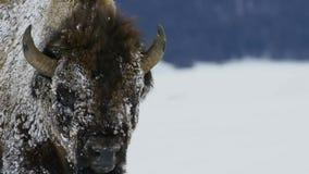 Бизоны ищут траву глубоки под снегом Их толстые пальто могут изолировать их вниз до -20 Градус Фаренгейта стоковые фотографии rf