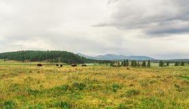 Бизоны пася на национальном парке Йеллоустон, WY, США стоковое фото