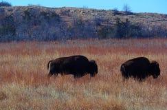 Бизон буйвола Стоковые Изображения