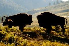 Бизон буйвола в заходе солнца Йеллоустона Стоковые Изображения