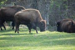 Бизон буйвола в зеленой траве в закоптелых горах Стоковая Фотография RF