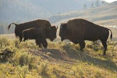Бизон буйвола в Йеллоустоне Стоковое Фото