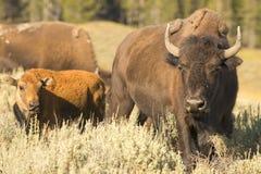 Бизон буйвола в Йеллоустоне Стоковая Фотография