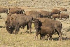 Бизон буйвола в Йеллоустоне Стоковые Изображения RF