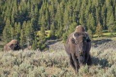 Бизон буйвола в Йеллоустоне Стоковые Фото