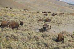 Бизон буйвола в долине Йеллоустоне Lamar Стоковая Фотография RF