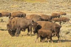 Бизон буйвола в долине Йеллоустоне Lamar Стоковое Изображение RF