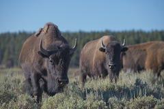 Бизон буйвола в долине Lamar Стоковая Фотография