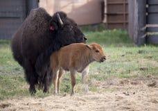 Бизон буйвола с детенышами Стоковые Изображения RF