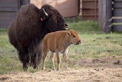 Бизон буйвола с детенышами Стоковая Фотография