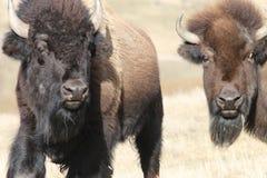 2 бизон/буйвола Стоковое Изображение