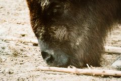 Бизон в зоопарке Стоковая Фотография