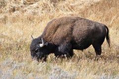 Бизон в злаковиках - национальный парк Йеллоустона Стоковые Фото