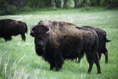 Бизон в Custer стоковое фото rf