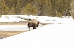 Бизон или американский буйвол вдоль променада в Йеллоустоне Nationa Стоковое Изображение