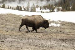 Бизон или американский буйвол в верхнем тазе гейзера в Йеллоустоне n Стоковое Изображение