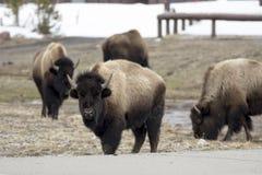 Бизон или американский буйвол, национальный парк Йеллоустона, Вайоминг Стоковые Изображения RF