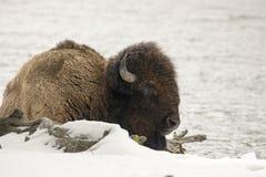 Бизон или американский буйвол отдыхая в соотечественнике n Йеллоустона снега Стоковое фото RF