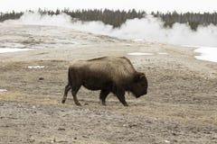 Бизон или американский буйвол, старое верное, PA Йеллоустона национальное Стоковые Изображения