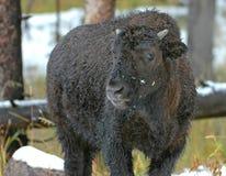 Бизон или американский буйвол, скалистые горы, США Стоковые Фотографии RF