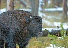 Бизон или американский буйвол, скалистые горы, США Стоковая Фотография