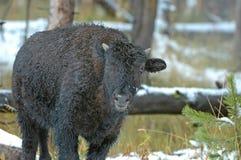 Бизон или американский буйвол, скалистые горы, США Стоковые Изображения