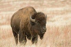 Бизон или американский буйвол Стоковые Изображения RF