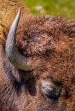 Бизон или буйвол Флориды близкие вверх одного рожка и волоса Стоковое Фото
