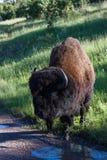 Бизон или bufalo взрослого мужчины Стоковое Изображение