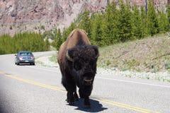 Бизон идя в середине дороги в национальном парке Йеллоустона Стоковая Фотография