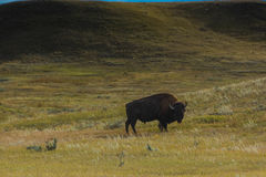 Бизон национального парка злаковиков Стоковое Изображение RF
