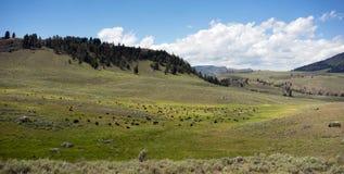 Бизон национального парка Йеллоустона долины Lamar табуна буйвола Стоковое Фото