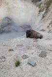 Бизон на вулкане грязи Стоковая Фотография